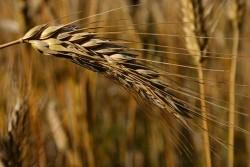 Buğdayın faydaları saymakla bitmiyor 6