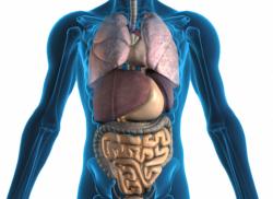 Organların yeri ve görevleri Hangi organ hangi bölgede 1