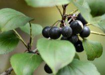 Acı çehre tohumu nedir, nasıl kullanılır? 3